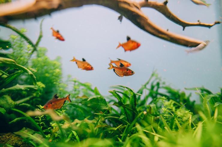 В аквариуме с минорами желательно разместить натуральные коряги и живые растения