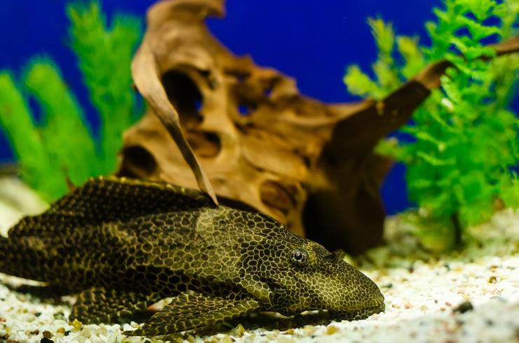 В аквариуме с птеригоплихтами обязательно должна быть коряга
