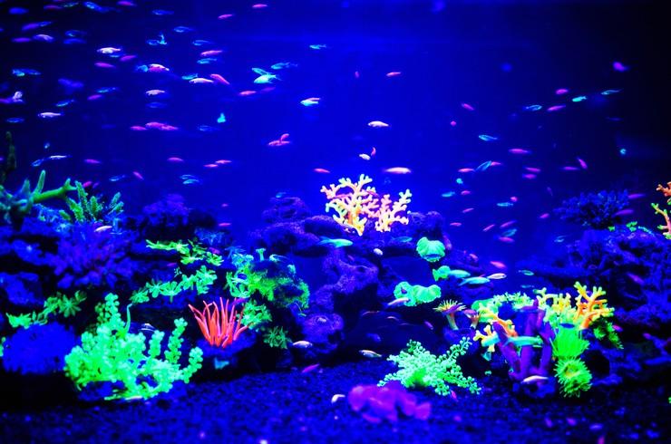В синем свете и в УФ-лучах данио глофиш начинают флуоресцировать