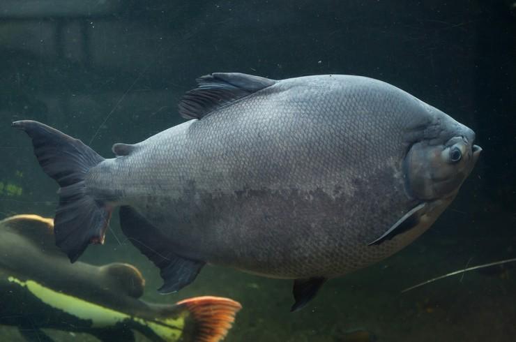 Взрослых черных паку можно содержать с соразмерными рыбами