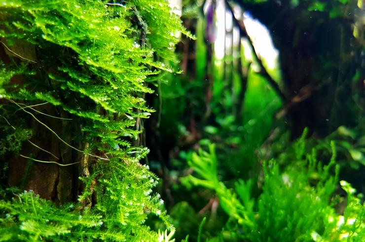 Яванских мох — типичный житель южноазиатских тропиков
