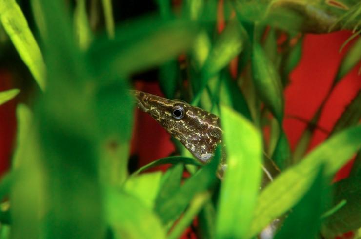 Макрогнатусы любят прятаться в зарослях растений