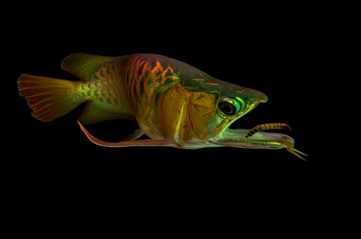 Насекомые и их личинки – основа рациона арован