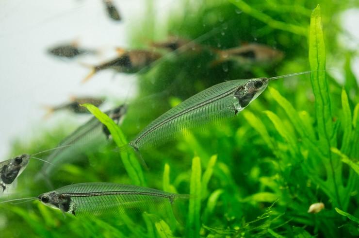 Стеклянные сомики в общем аквариуме