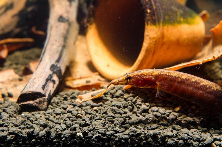 В аквариуме с макрогнатусом необходимы укрытия