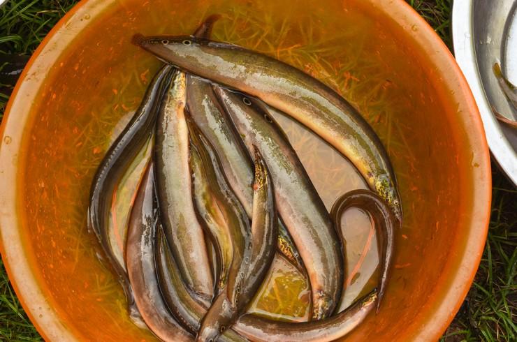 В странах Юго-Восточной Азии макрогнатусы – объект рыболовного промысла