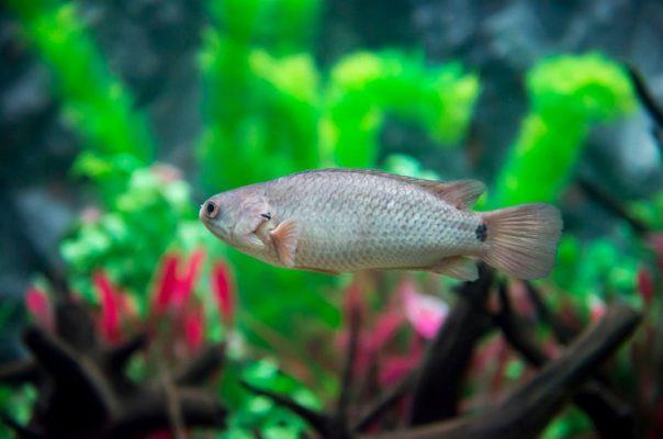 Анабас, или рыба-ползун, в аквариуме
