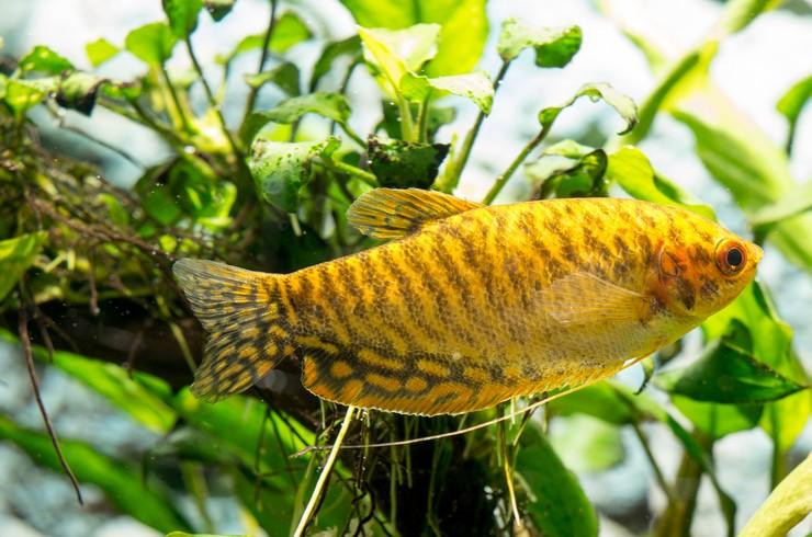 Для гурами золотого необходим аквариум с живыми растениями