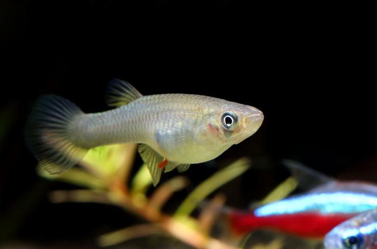 Гамбузию лучше содержать с подвижными рыбками без вуалевых плавников