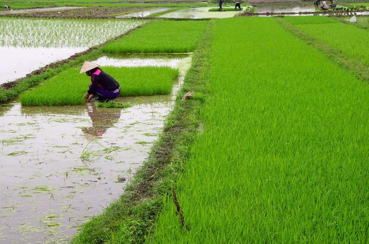 Гурами карликовые часто обитают на рисовых полях