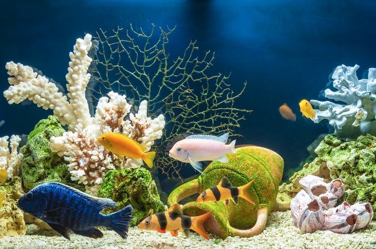 Хаплохромис в общем аквариуме