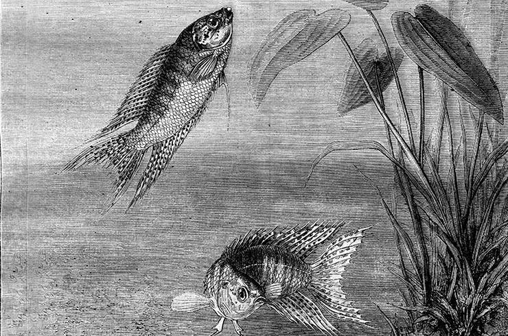 Изображение макроподов, 1870 год