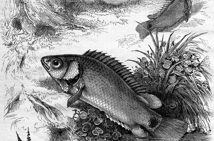 Изображения анабаса из журнала по аквариумистике 1870 года