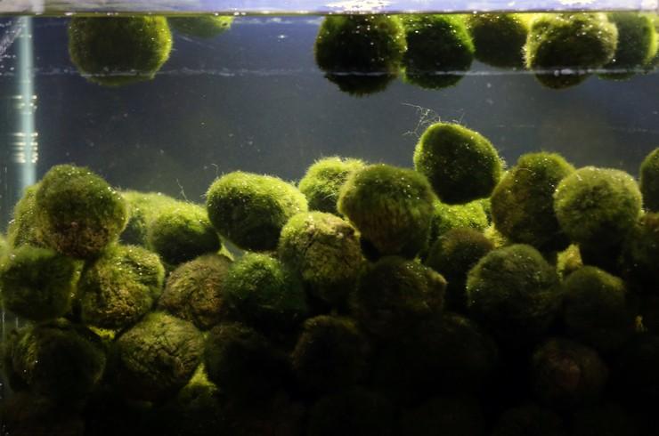 Кладофора шаровидная является природным биофильтром
