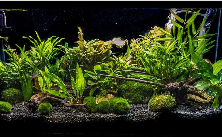 Кладофора в аквариуме