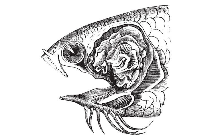 Лабиринтовый орган анабаса
