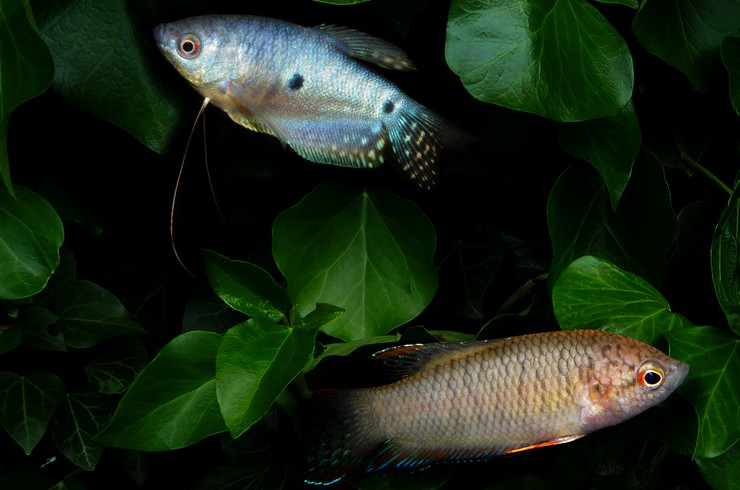Молодые голубые гурами хорошо уживаются с большинством видов мирных аквариумных рыб