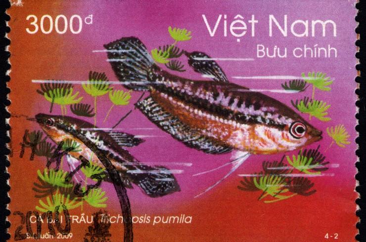 Почтовая марка с изображением карликового гурами. Вьетнам