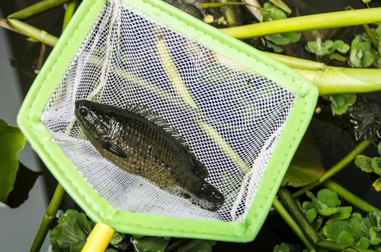Рыбы-ползуны – объект рыболовного промысла у местного населения