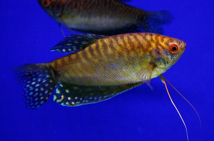 Самца гурами золотого можно отличить по заостренному спинному плавнику