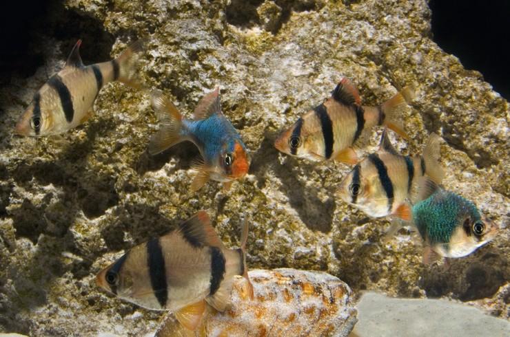 Барбус мутант и барбус суматранский хорошо сочетаются в общем аквариуме