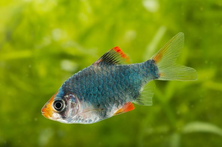 Барбус мутант предпочитает аквариумы с живыми растениями