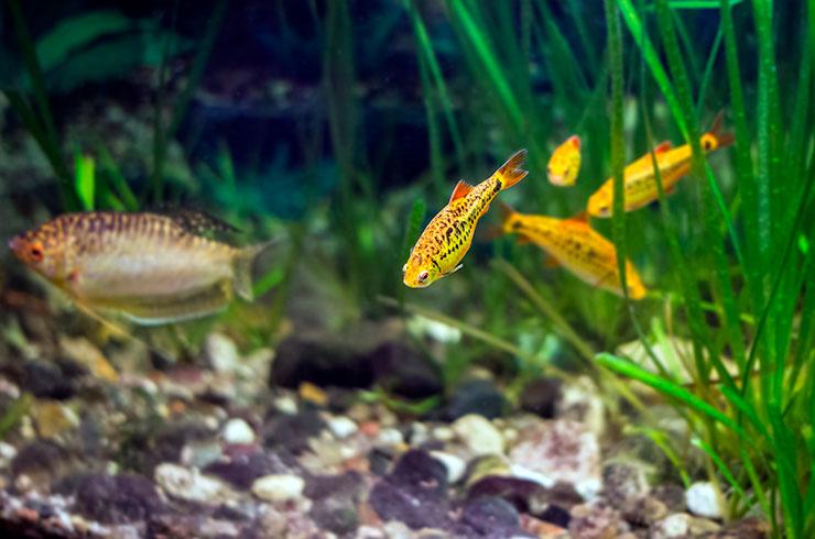 Хорошими соседями для барбусов Шуберта станут соразмерные неагрессивные виды рыб