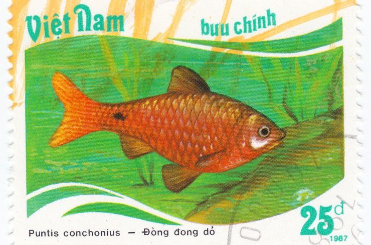 Марка с изображением огненного барбуса. Вьетнам, 1987