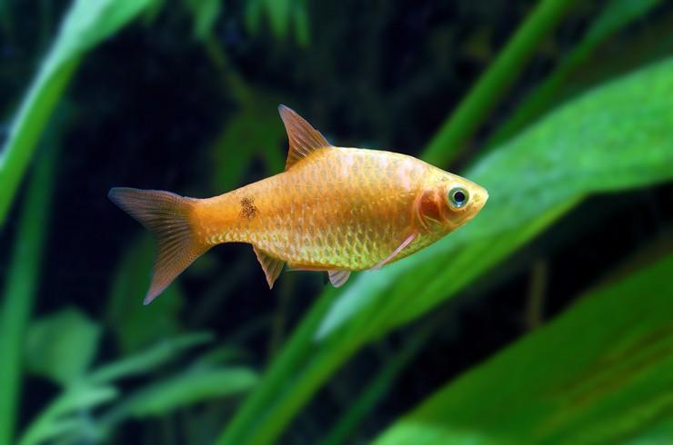 Огненных барбусов лучше содержать в аквариумах с живыми растениями