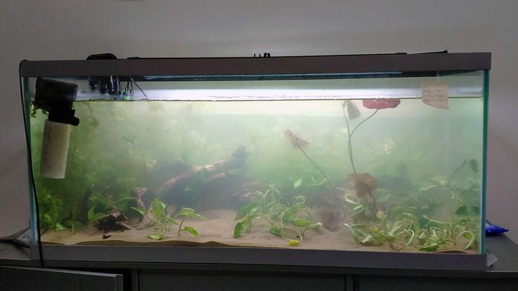 Передняя часть аквариума отводится под посадку криптокорин и нимфеи
