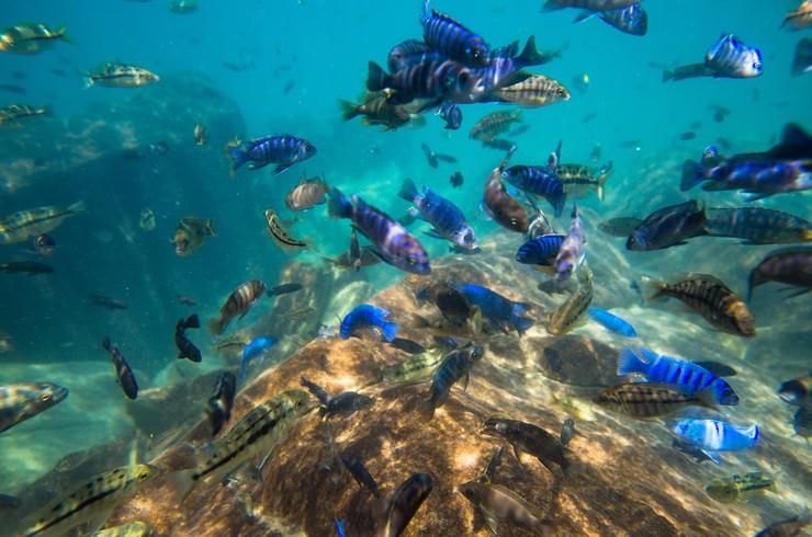 Подводный мир озера Малави (Африка)