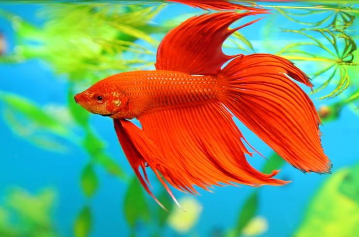 Сиамский петушок, или бойцовская рыбка