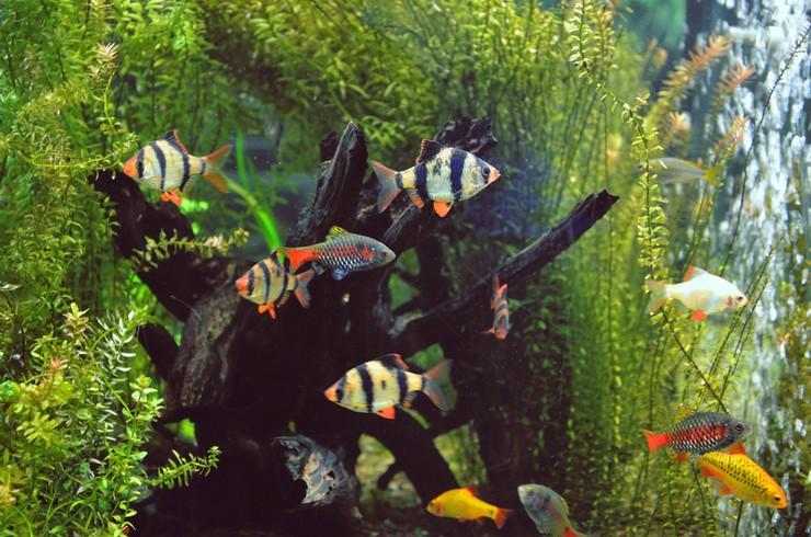 Суматранские барбусы прекрасно смотрятся в другими видами барбусов в общем аквариуме