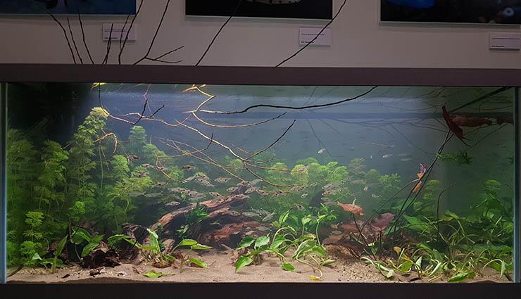 В аквариум посажены характерные для биотопа виды рыб