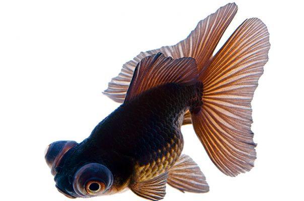 Золотая рыбка бабочка