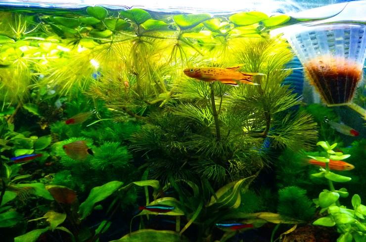 Афиосемион в общем аквариуме