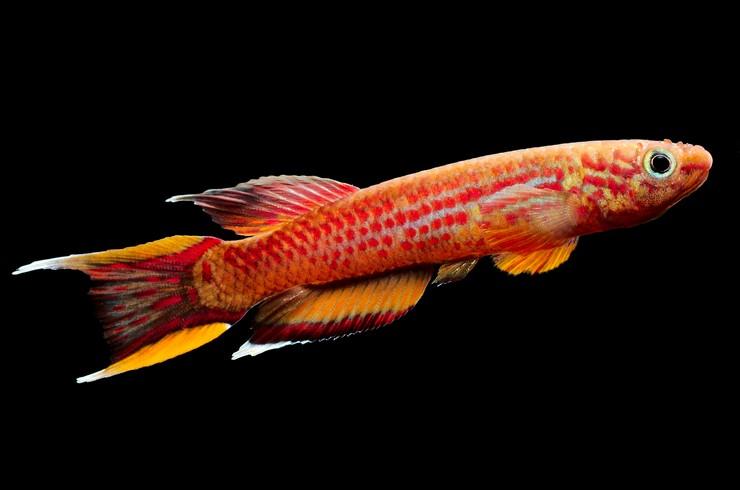 Афиосемионы – красочные рыбки с интересным поведением
