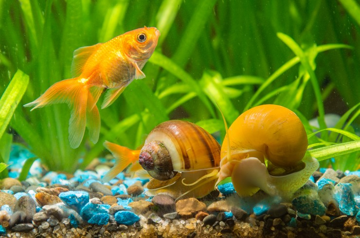 Ампулярии хорошо уживаются с большинством видов аквариумных рыб