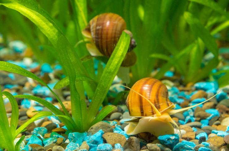 Ампулярии в аквариуме с живыми растениями