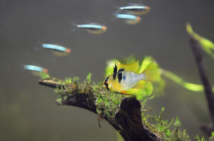 Апистограммы хорошо уживаются с мирными рыбками небольшого размера