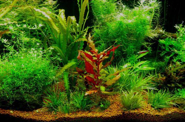 Апоногетон в аквариуме