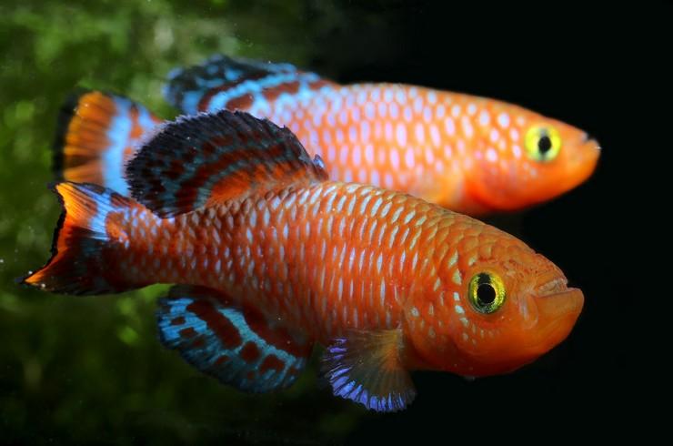 В общем аквариуме самцы нотобранхиусов часто устраивают стычки