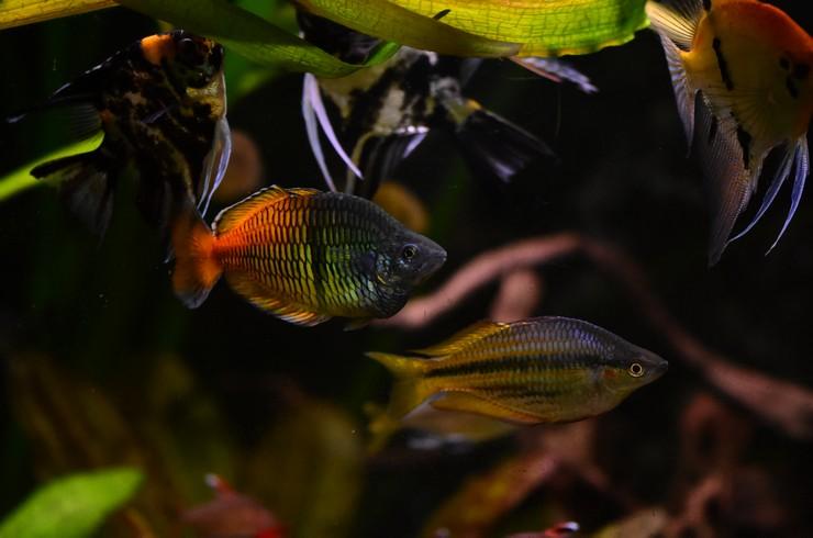 Радужницы отлично уживаются с большинством видов тропических рыб