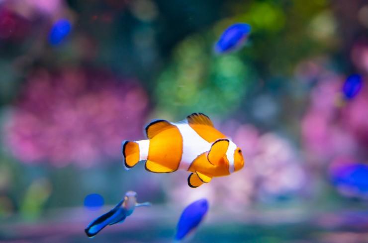 Рыбки-клоуны спокойно относятся к другим видам морских рыб