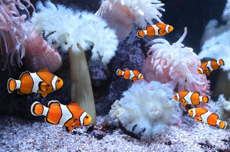 Рыбки-клоуны живут стайками со строгой иерархией