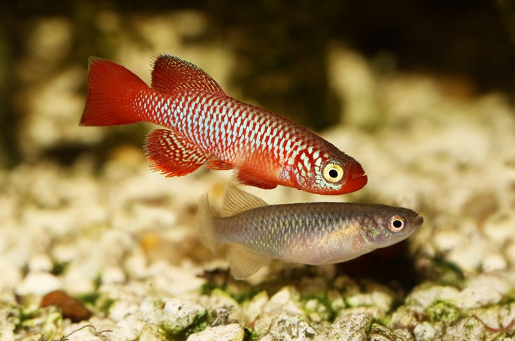 Самец и самка нотобрахиуса (Nothobranchius flammicomantis)