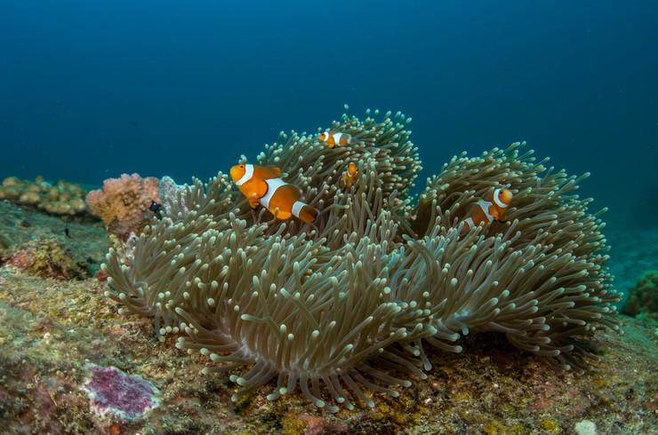 В природе рыбки клоуны тяготеют к зарослям актиний