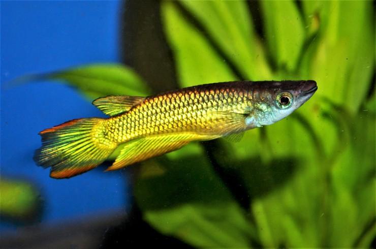 Золотой линеатус не встречается в природе, но популярен в аквариумистике