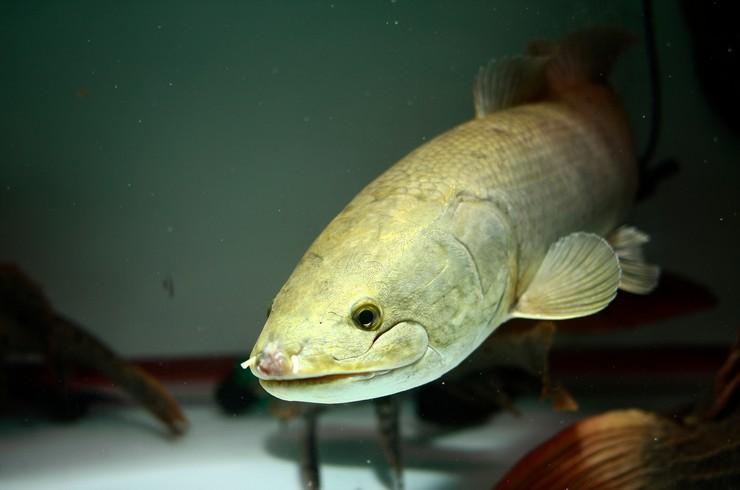 Для содержания амии необходим аквариум от 1000 литров