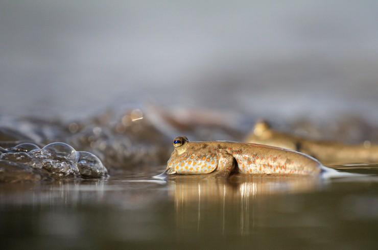 Илистые прыгуны обитают в водоемах с низким содержанием кислорода